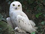 Nyctea-scandiaca-snowy-owl-0a.jpg