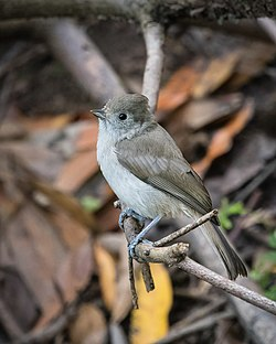 Oak Titmouse (34327523513).jpg