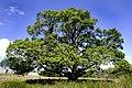 Oak Tree Behind Glenlee Power Station - geograph.org.uk - 777468.jpg