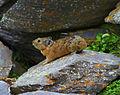 Ochotona alpina, алтайская пищуха..jpg