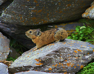Alpine pika - In the Saylyugem Mountains in Mongolia