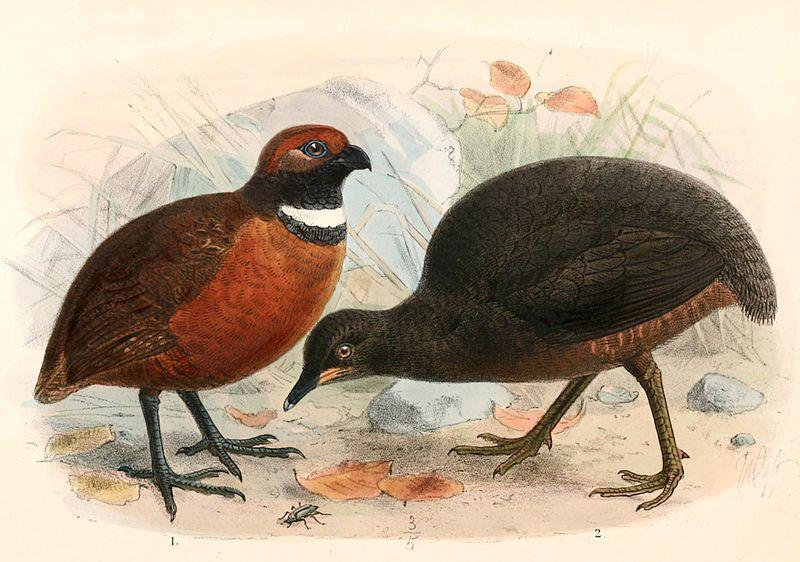 File:Odontophorus erythrops parambae & Crypturellus berlepschi 1897.jpg