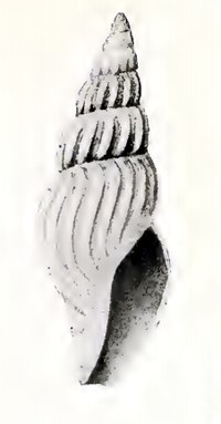 Oenopota nunivakensis 001.jpg