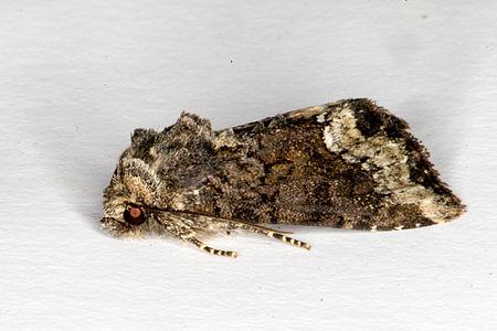 Oligia strigilis, Lodz(Poland)02(js).jpg