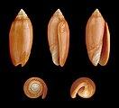 Oliva annulata f. carnicolor 01.JPG