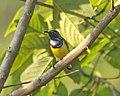 Olive-backed Sunbird (Cinnyris jugularis) - male - Flickr - Lip Kee.jpg