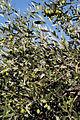 Olives (Tanche) (Drome 26000) Cl9.J Weber (6) (22852485000).jpg