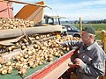Onion harvest in Bavaria 5.jpg