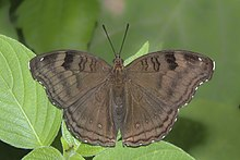 Open wing position of Junonia iphita Cramer, 1779 – Chocolate Pansy KAMALPUR.jpg