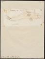 Ophiocephalus ocellatus - 1700-1880 - Print - Iconographia Zoologica - Special Collections University of Amsterdam - UBA01 IZ13800085.tif