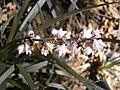 Ophiopogon planiscapus Niger blooming.jpg