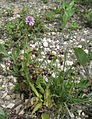 Ophrys speculum and Orchis (Neotinea ) tridentata - Samandag Hatay.jpg
