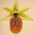 Ophrys tarentina DIS01.jpg