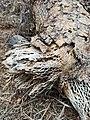 Opuntia sp. - Ground tissue III.jpg