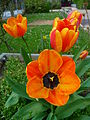 Orange-gelbe Tulpen.JPG