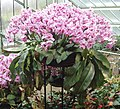 Orchid flowers and pitchers at Kew - geograph.org.uk - 1156285.jpg
