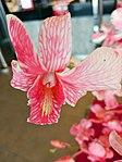 Orchid in Thailand.JPG