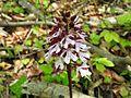 Orchis purpurea 22.jpg