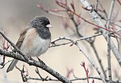 Oregon Junco in Kelowna, BC.jpg