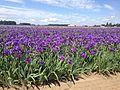 Oregon iris field lec by andrew olivo parodi.jpg