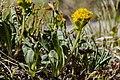 Oreochrysum parryi - Flickr - aspidoscelis.jpg