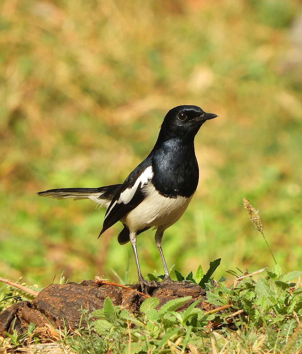 Oriental Magpie-Robin Copsychus saularis DSCN0961 1