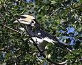 Oriental Pied Hornbill (Anthracoceros albirostris) (21014933014).jpg