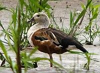 Orinoco Goose by Roar.Johansen