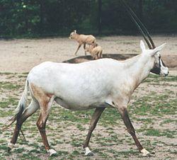 djur med horn