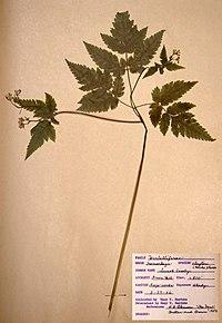 Osmorhiza claytonii BW-1966-0529-0850.jpg