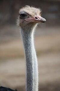 Ostrich 057.jpg