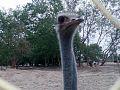 Ostrich Neck.jpg