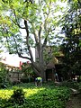 Our Kentucky Coffee Tree (Gymnocladus dioicus) must come down - panoramio.jpg
