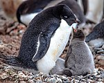 Our first landing on the Antarctic mainland, at Boown Bluff. at the N tip of the Antarctic peninsula.nesting Adelie Penguins (Pygoscelis adeliae).with good sized grey chicks. (25972927836).jpg