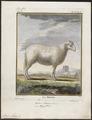 Ovis aries - 1700-1880 - Print - Iconographia Zoologica - Special Collections University of Amsterdam - UBA01 IZ21300017.tif