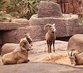 Ovis canadensis - Bighorn Sheep1 BZ ies.jpg