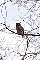 Owl (60811070).jpeg