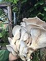 Oyster mushroom giant.jpg