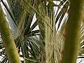 PALM TREE (32173248065).jpg