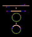 PCR recombinació.png