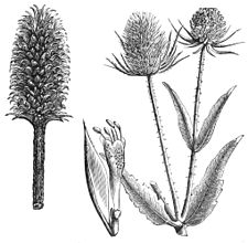 PSM V39 D473 Heads of fuller and wild teasel.jpg