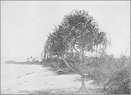 PSM V86 D119 Pandanus tree on the lagoon beach of fakarana atoll paumotes.jpg
