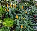 Pachystachys lutea, Christchurch Botanic Gardens, Canterbury, New Zealand 04.jpg