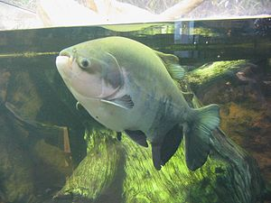 Large Pacu at the Shedd Aquarium, Chicago.