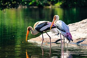 Painted stork - Painted Storks at the Ranganathittu Bird Sanctuary