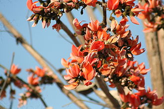 Jharkhand - Palash flowers, bright red, pepper the skyline in Jharkhand during fall, also known as forest fire