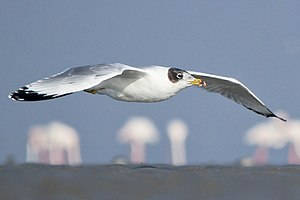 Pallas's gull - at Kutch