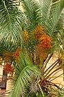Palma de dátil (Phoenix dactylifera) (16080841867).jpg