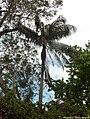 Palmiste noir P1090527.jpg