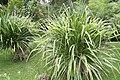 Pandanus veitchii 6zz.jpg